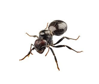 main_black-house-ant-image (1)